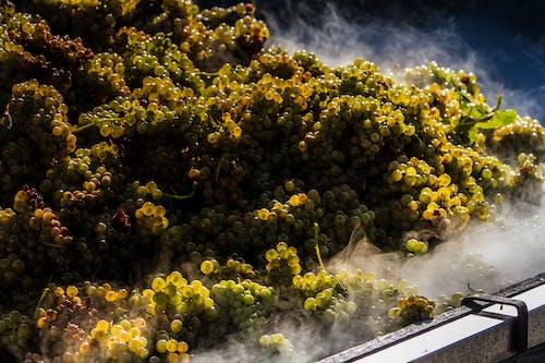 在陽光下的葡萄園, 意大利的葡萄園, 葡萄園, 葡萄收穫 的 免費圖庫相片