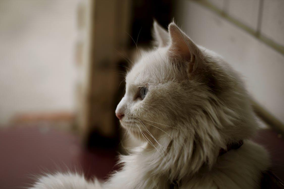 dyr, katt, kattedyr