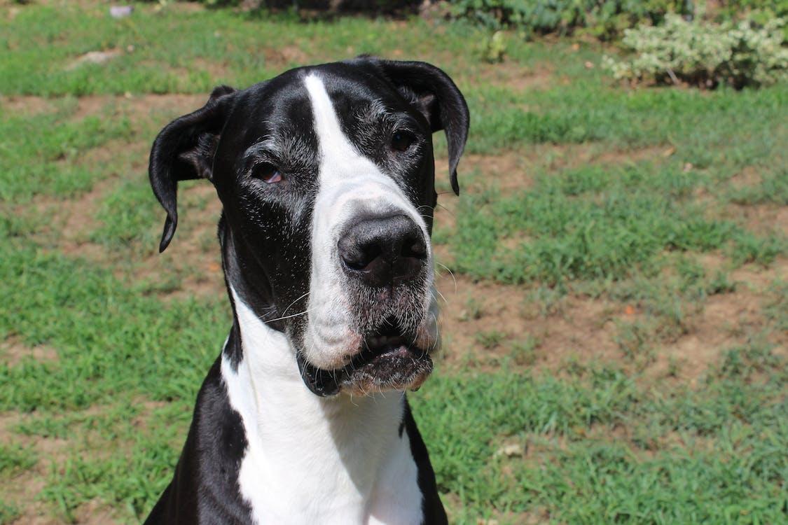 Free stock photo of black-and-white, dog, great dane