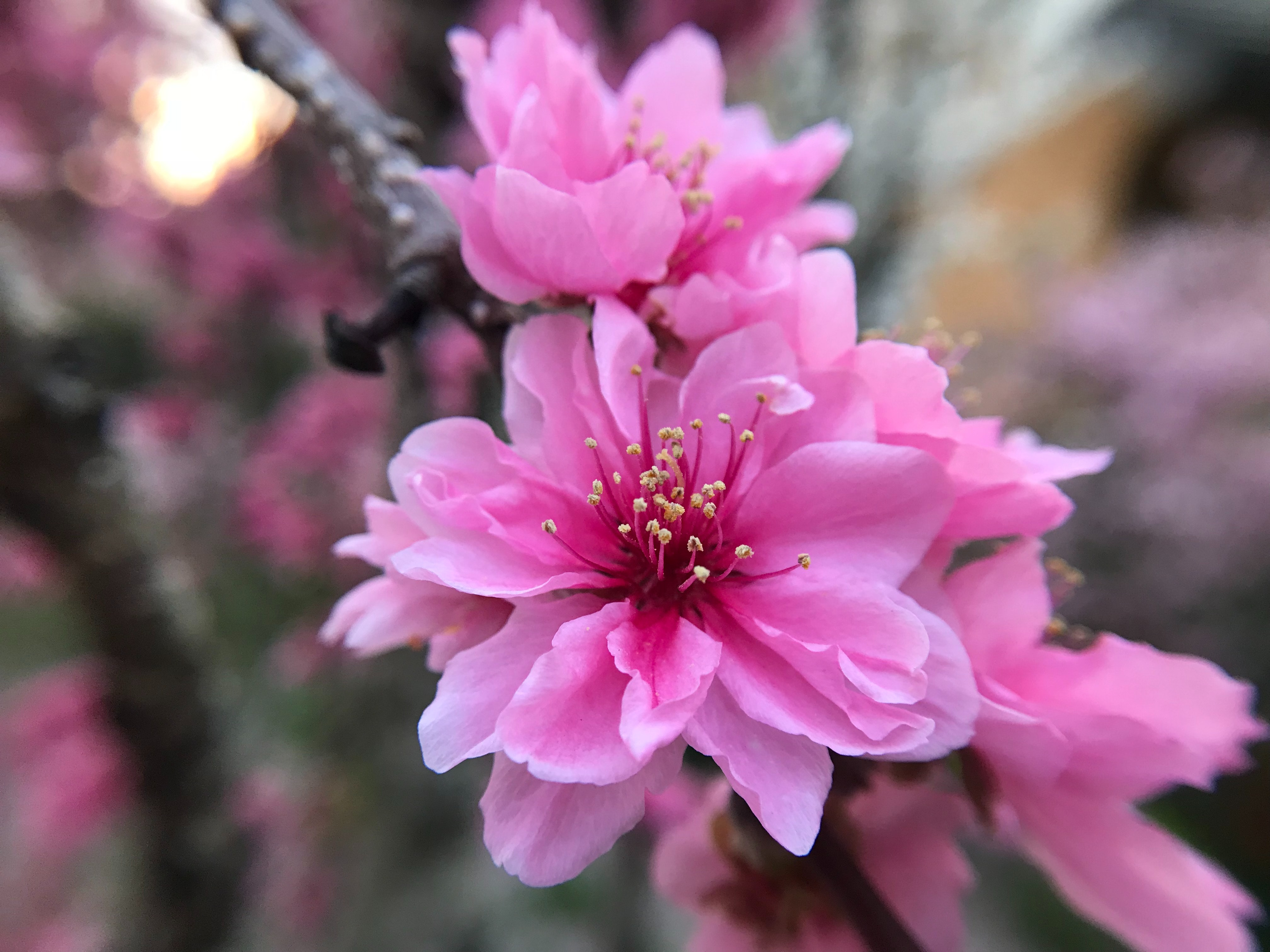 Free Stock Photo Of Pink Flowers Plum Blossom Spring Flowers
