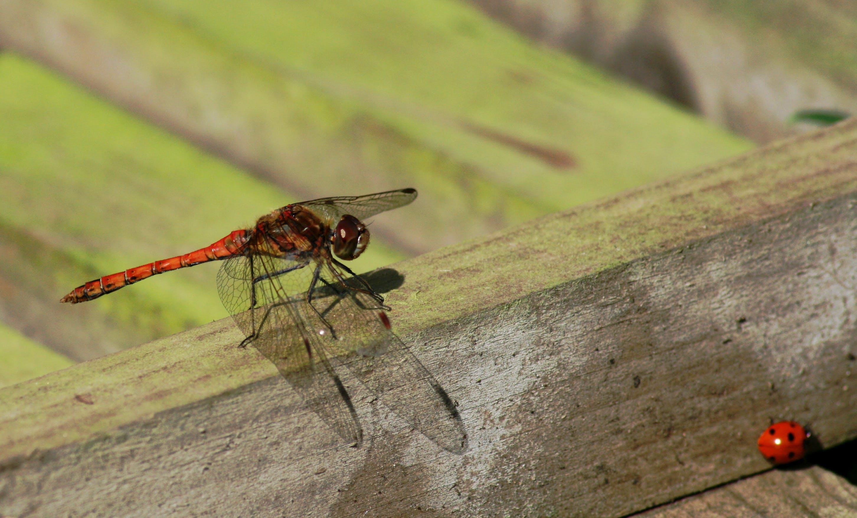 Free stock photo of dragonfly, ladybird, mayfly