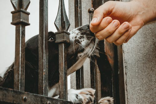 Dog Inside Wrought Iron Gate Smelling Person's Hand Close-up Photo