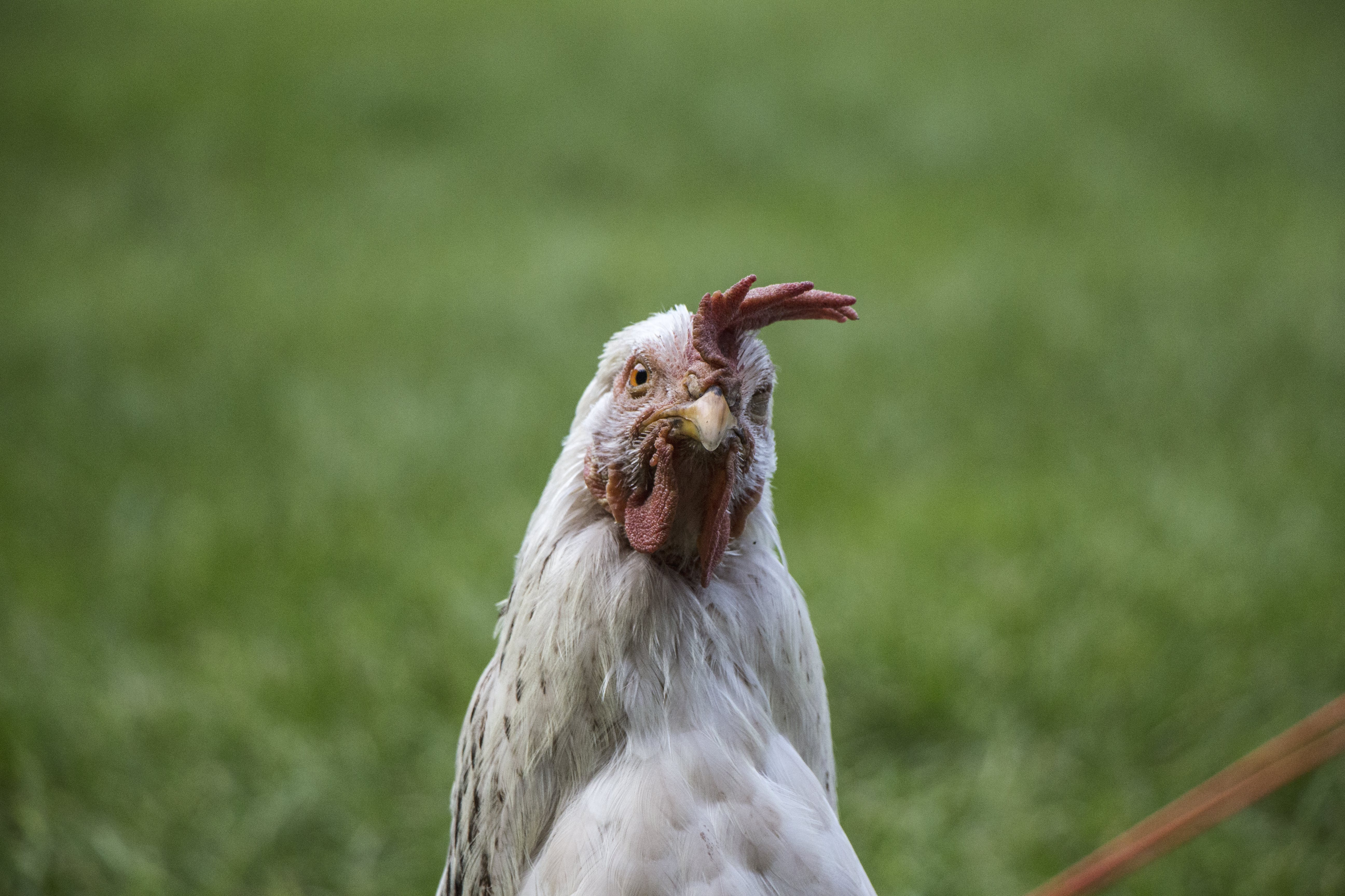 Selective Focus Photography of White Chicken