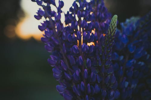 Selective Focus Photography of Purple Lupine Flowers