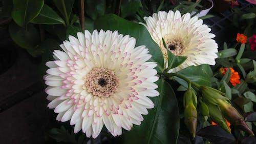 フラワーズ, 白, 緑, 緑色の葉の無料の写真素材
