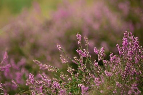 Free stock photo of heather, purple