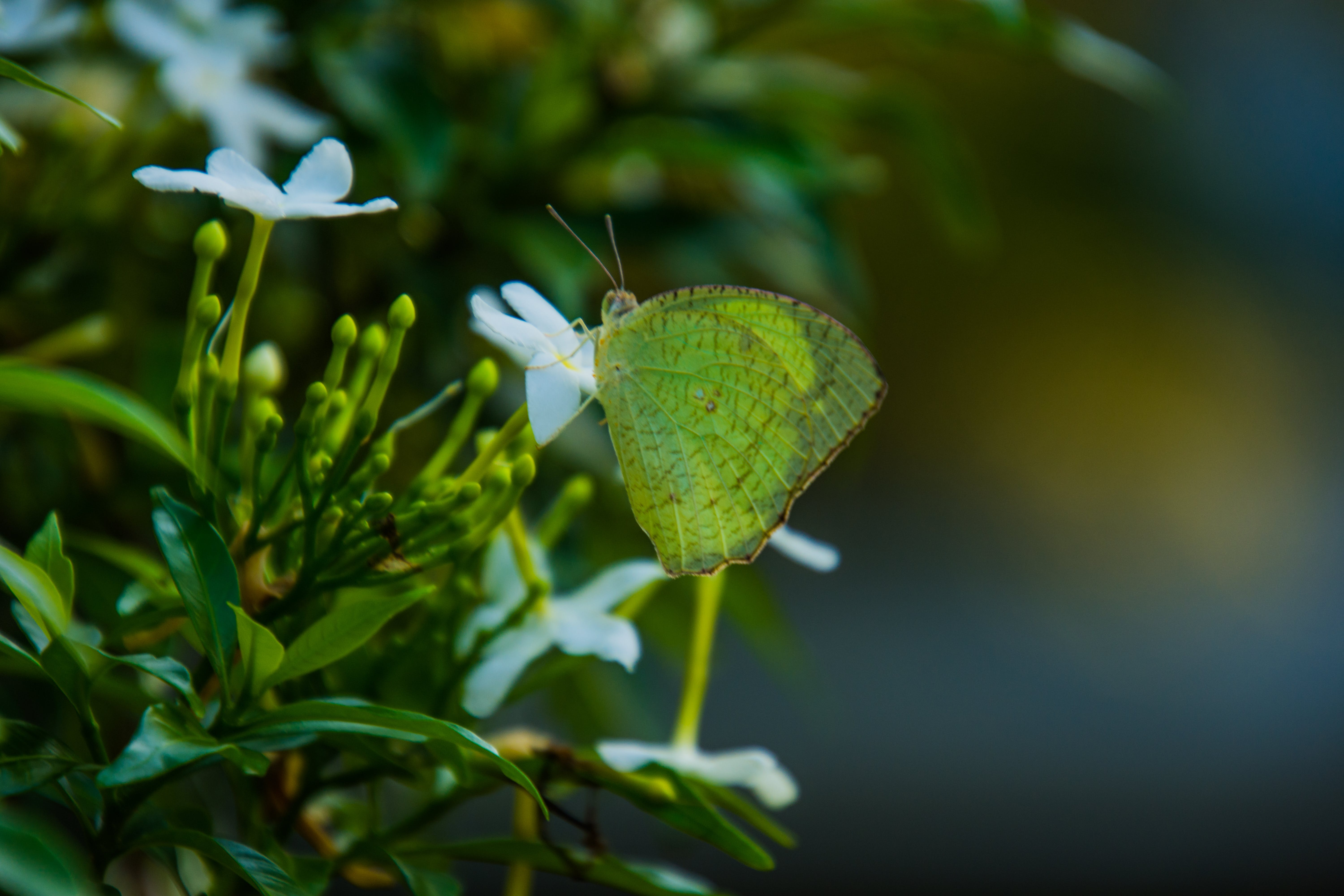 Free stock photo of butterfly, butterfly on a flower, green, nature photography