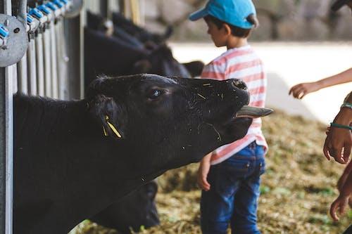 Darmowe zdjęcie z galerii z bydło, gospodarstwo, krowa, makro