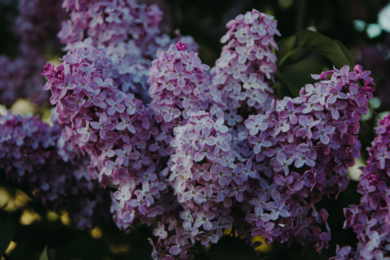 工厂, 植物群, 紫丁香, 綻放 的 免费素材照片