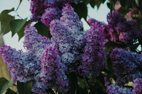 Selective Focus Photo Of Purple Lilac Flowers