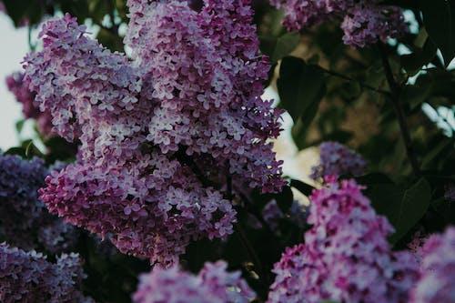 Fotos de stock gratuitas de flora, floración, flores, lupinos