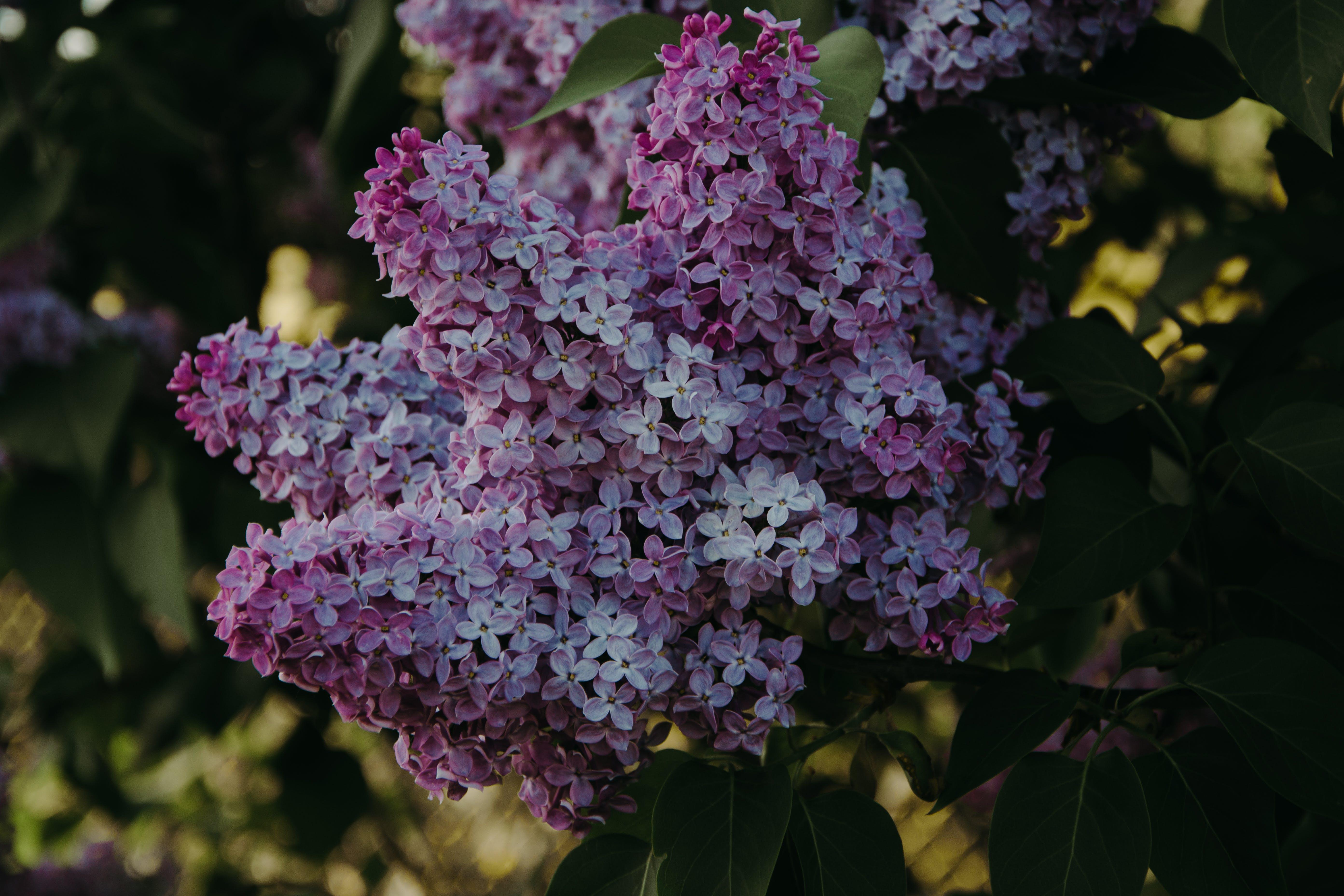 工厂, 植物群, 紫丁香, 紫色的花朵 的 免费素材照片