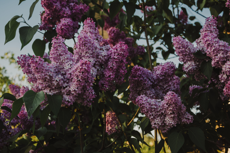 工厂, 植物群, 樹木, 紫丁香 的 免费素材照片