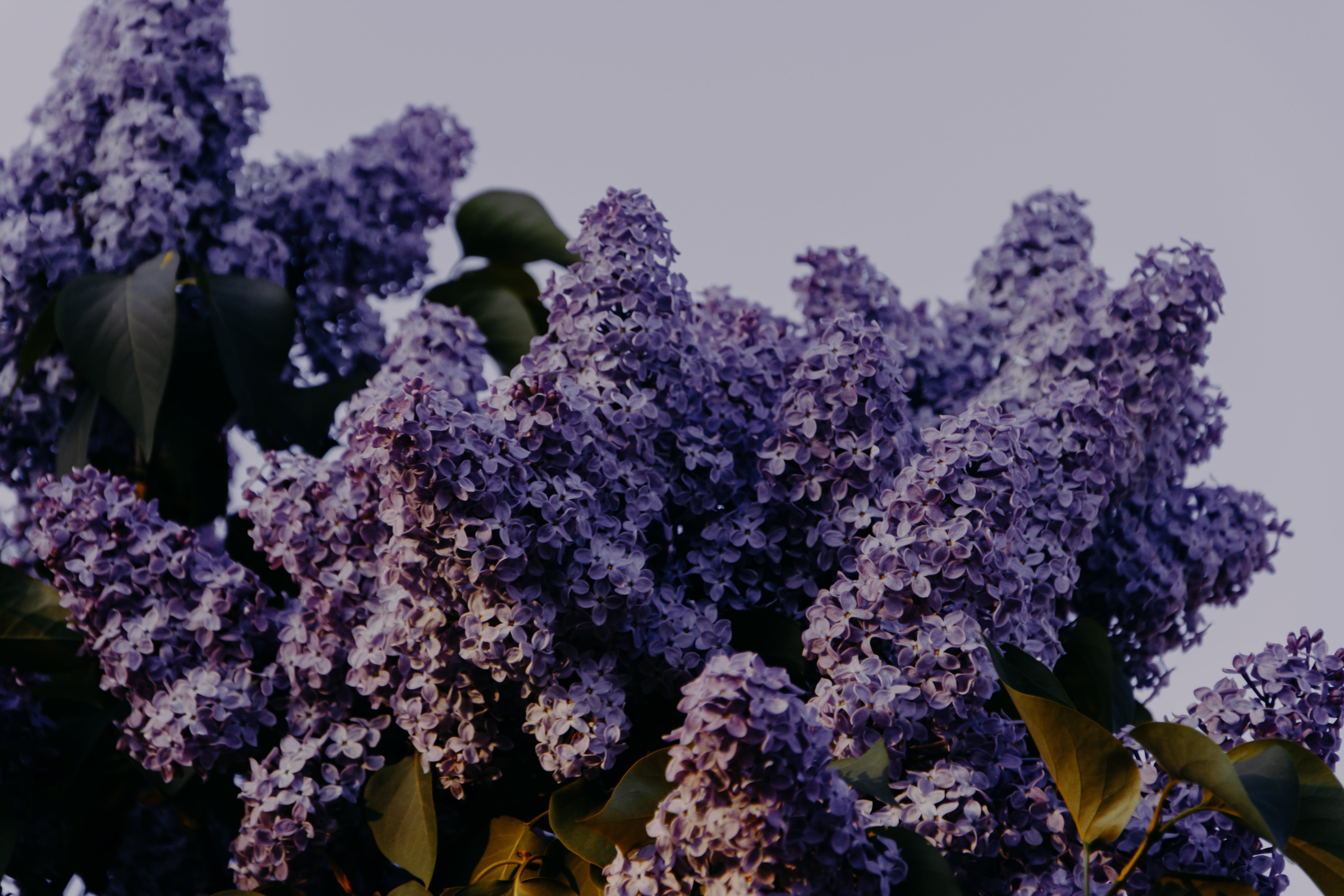 Purple Lilac Flowers Close-up Photography