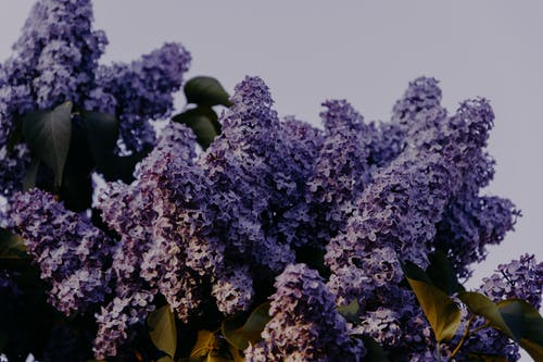 工厂, 植物群, 樹, 紫丁香 的 免费素材照片