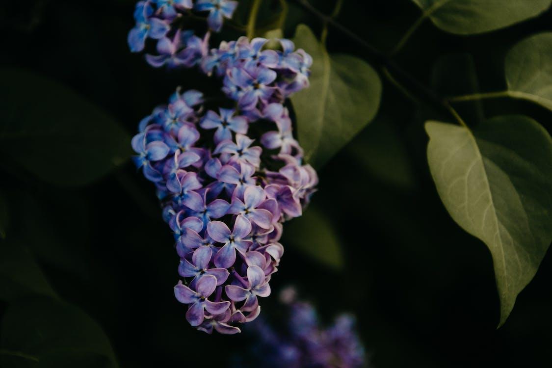 detailný záber, farby, fialové kvety
