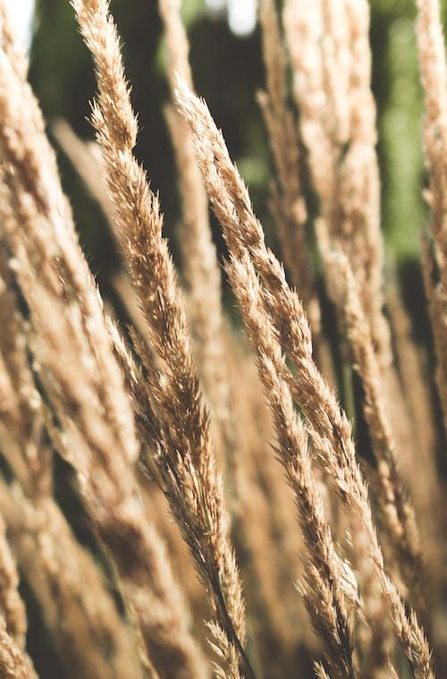 Foto profissional grátis de planta, trigo