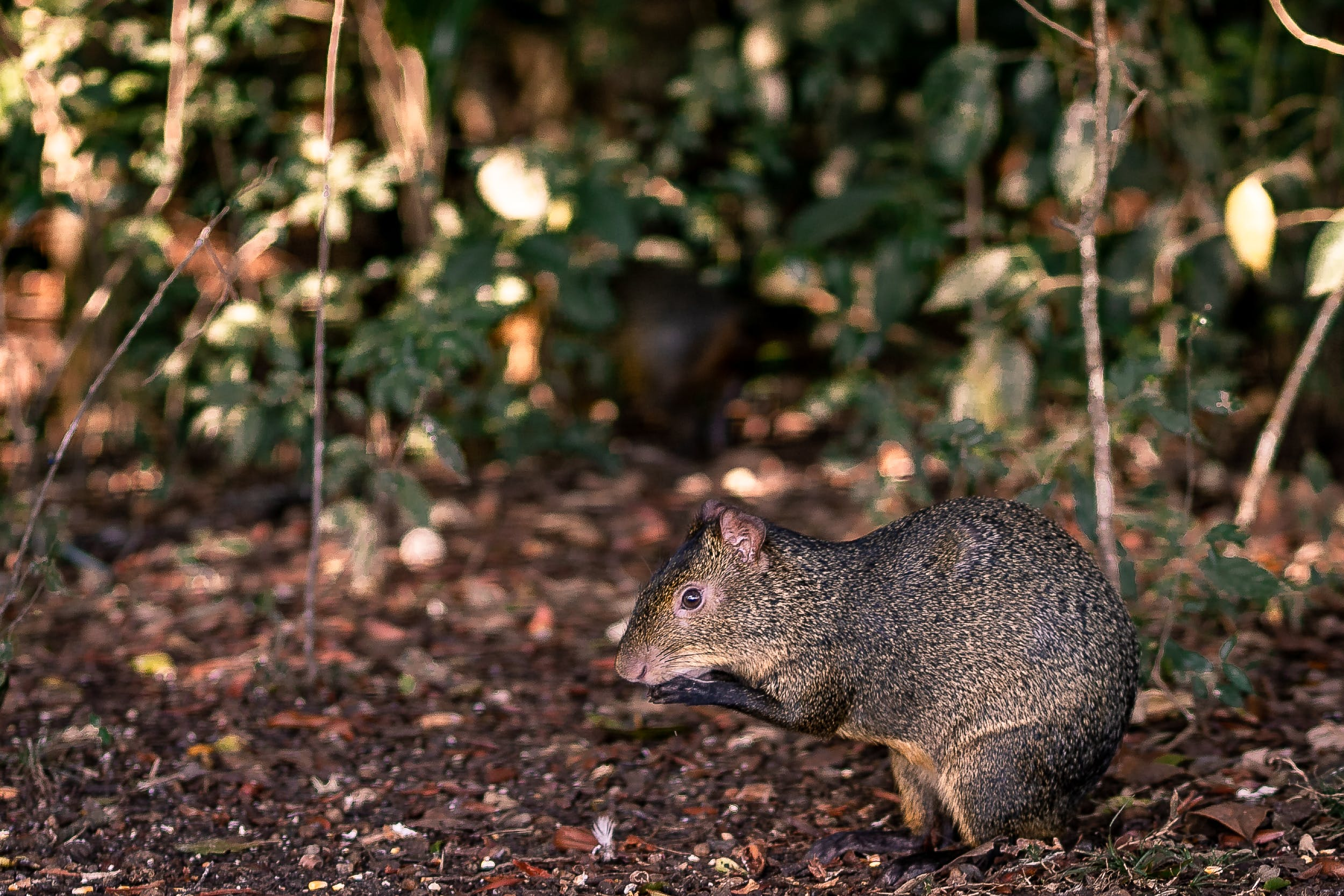 Brown Rat on Ground