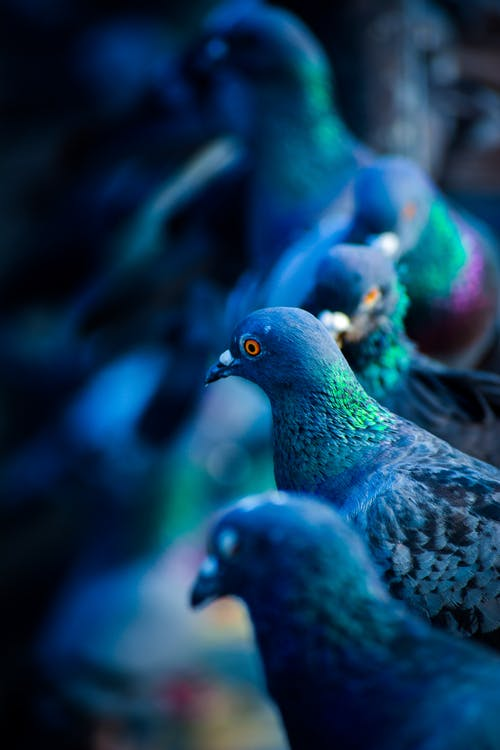 Flock of Green-and-blue Pigeons