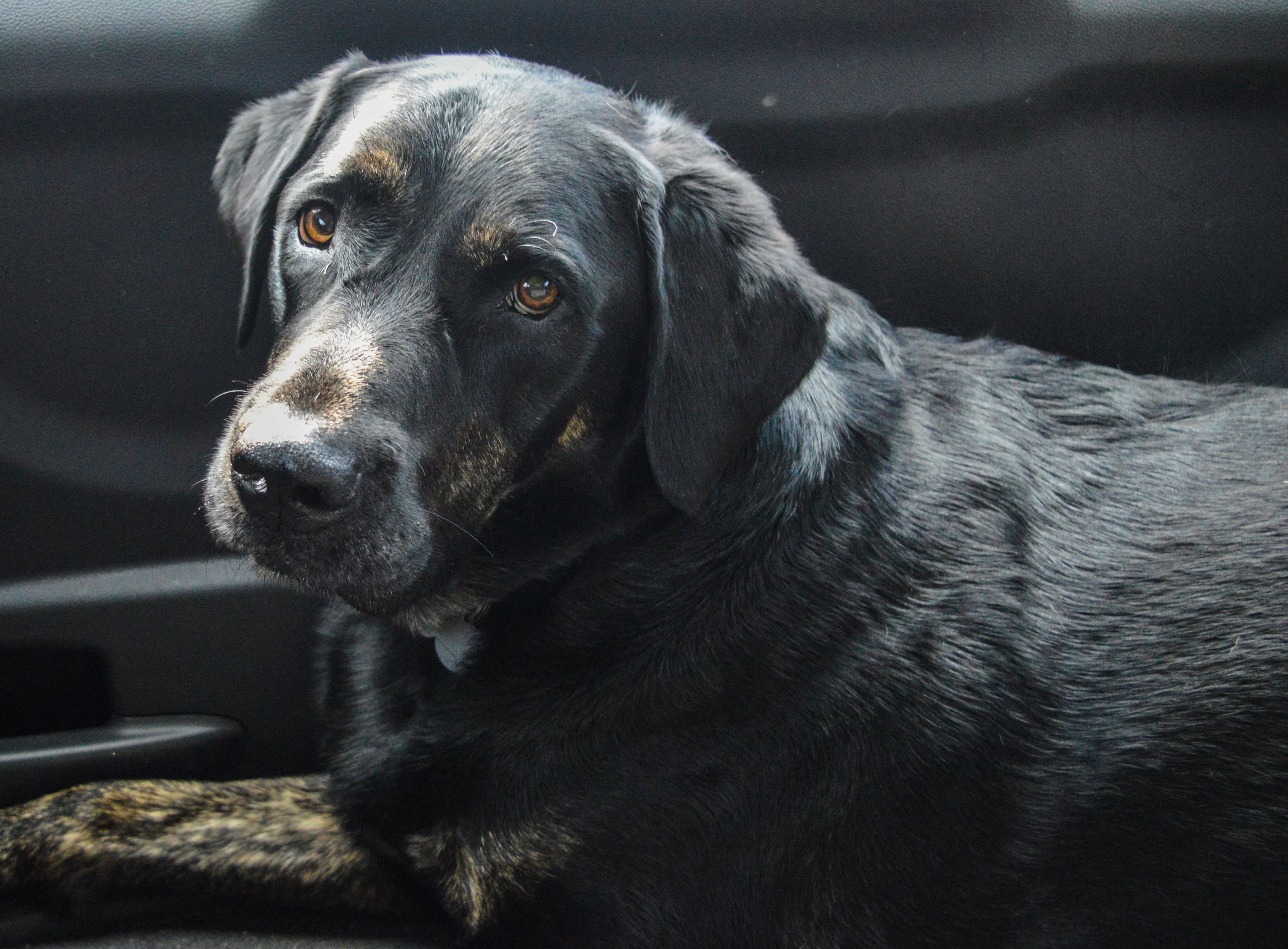Adult Black Labrador Retriever