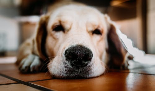 Yellow Labrador Retriever Close-up Photography