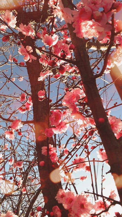 Základová fotografie zdarma na téma květina tapeta, kvetoucí strom, růžová květina
