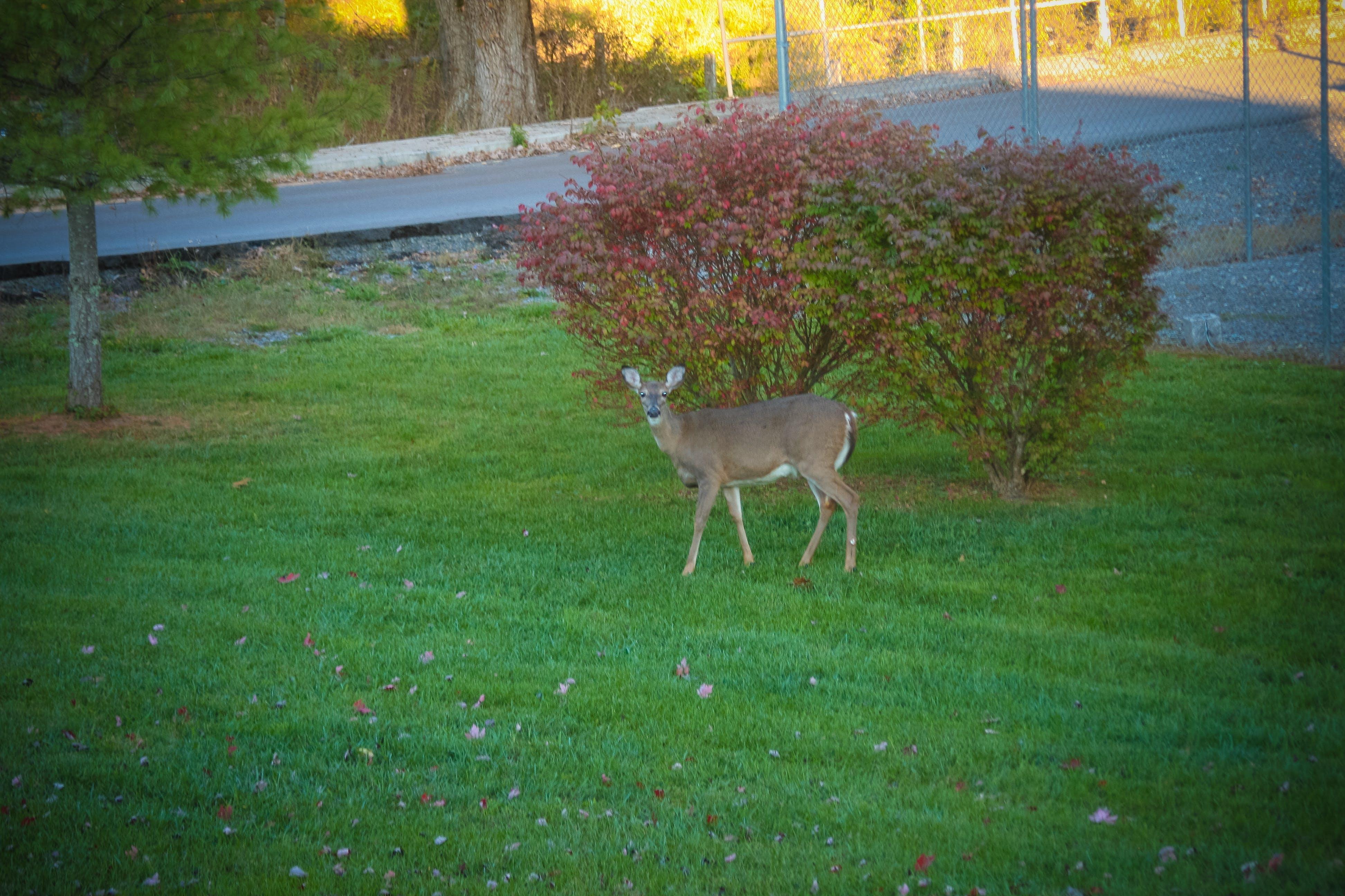 Free stock photo of beauty, brown, bush, deer