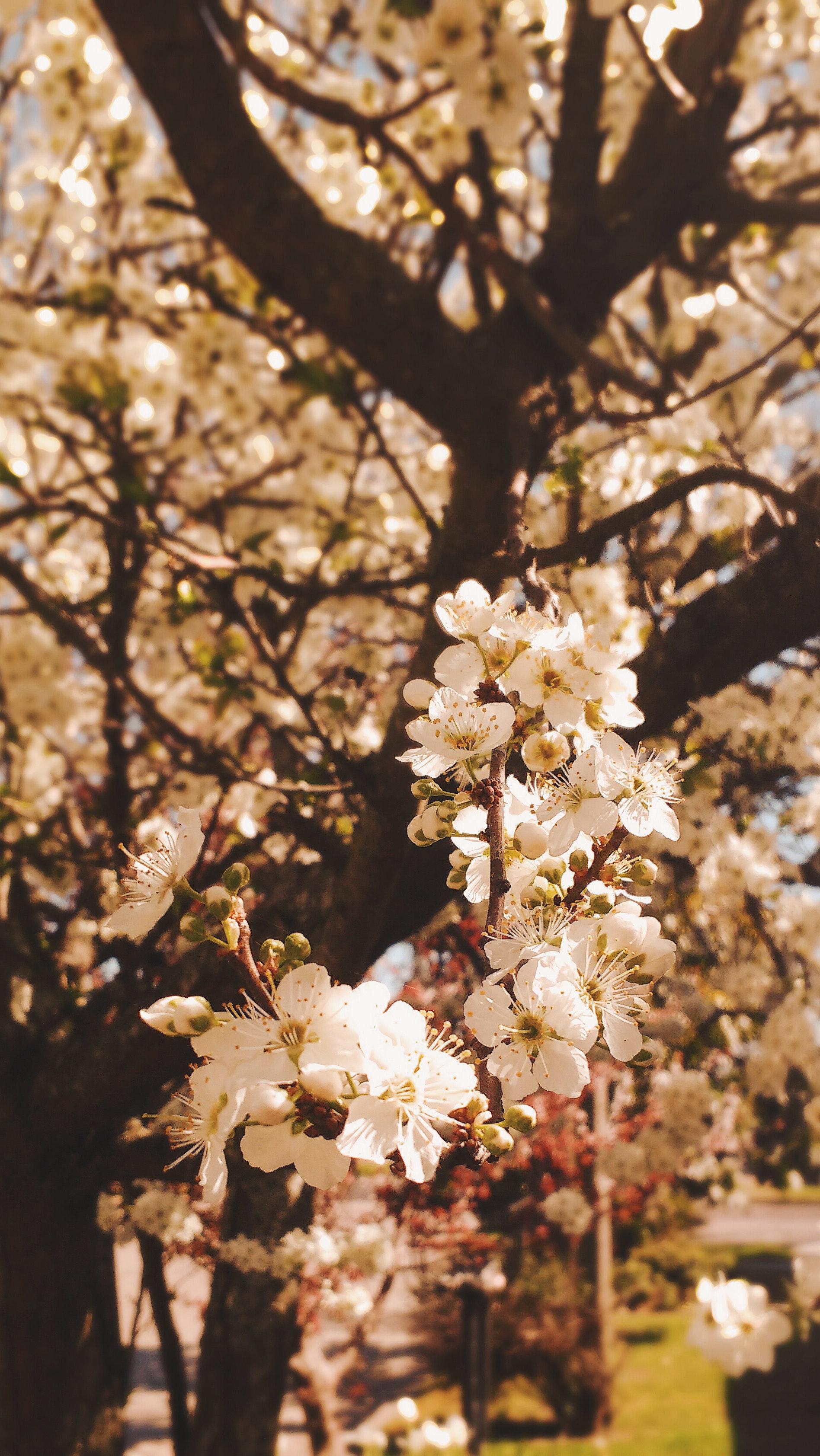 Foto Gratuita Di Albero In Fiore Fiori Bellissimi Sfondo Tumblr