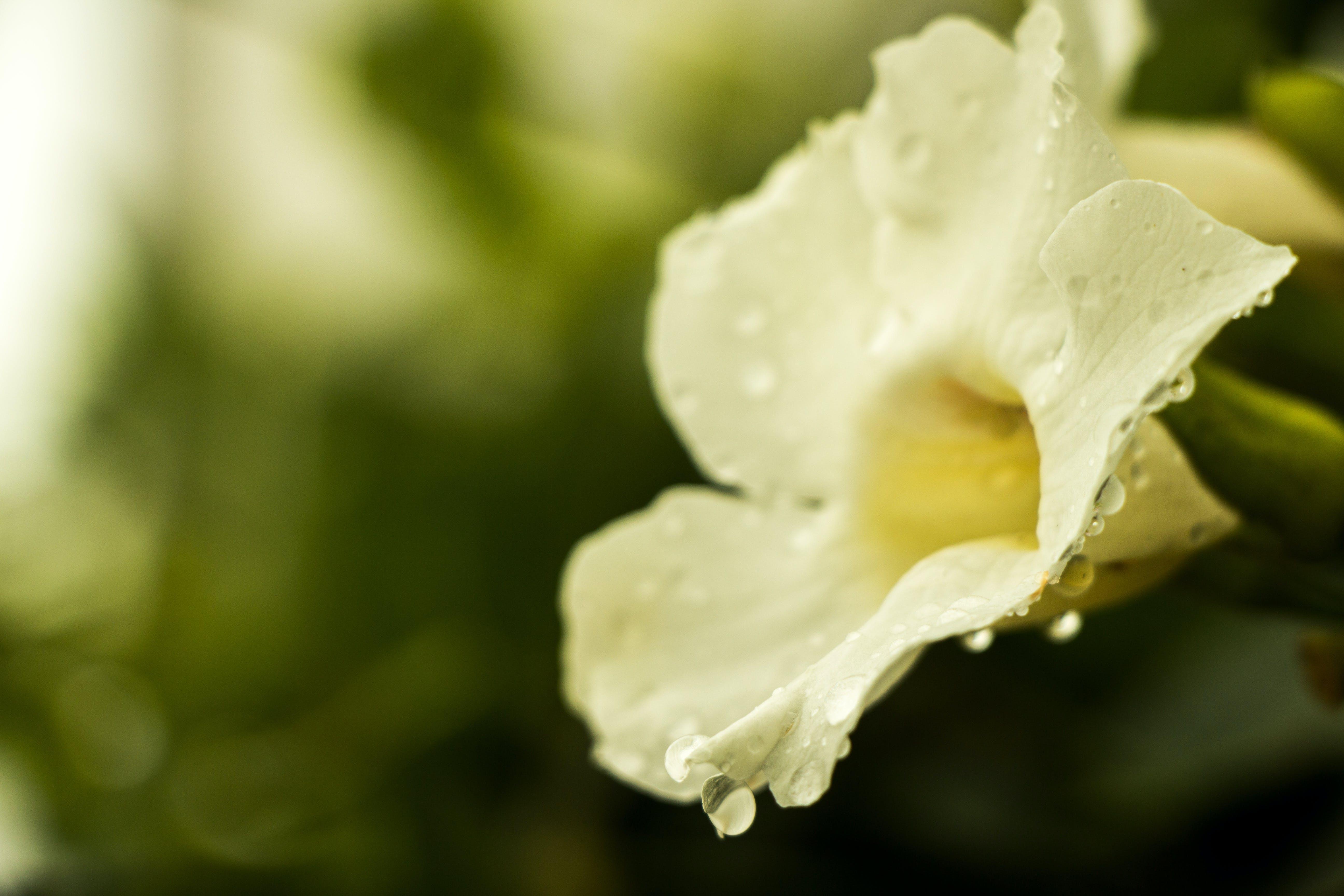 Kostenloses Stock Foto zu blume, nach dem regen, regen, tietê