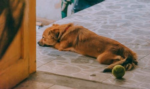 Dog Lying On The Floor Near The Door