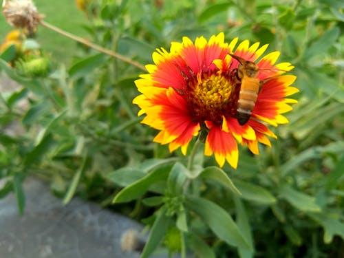 Free stock photo of beautiful flowers, honey bee