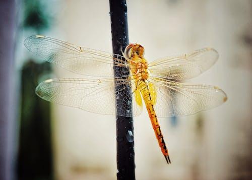 Gratis lagerfoto af detaljer, dragonfly wing, gul, guldsmed