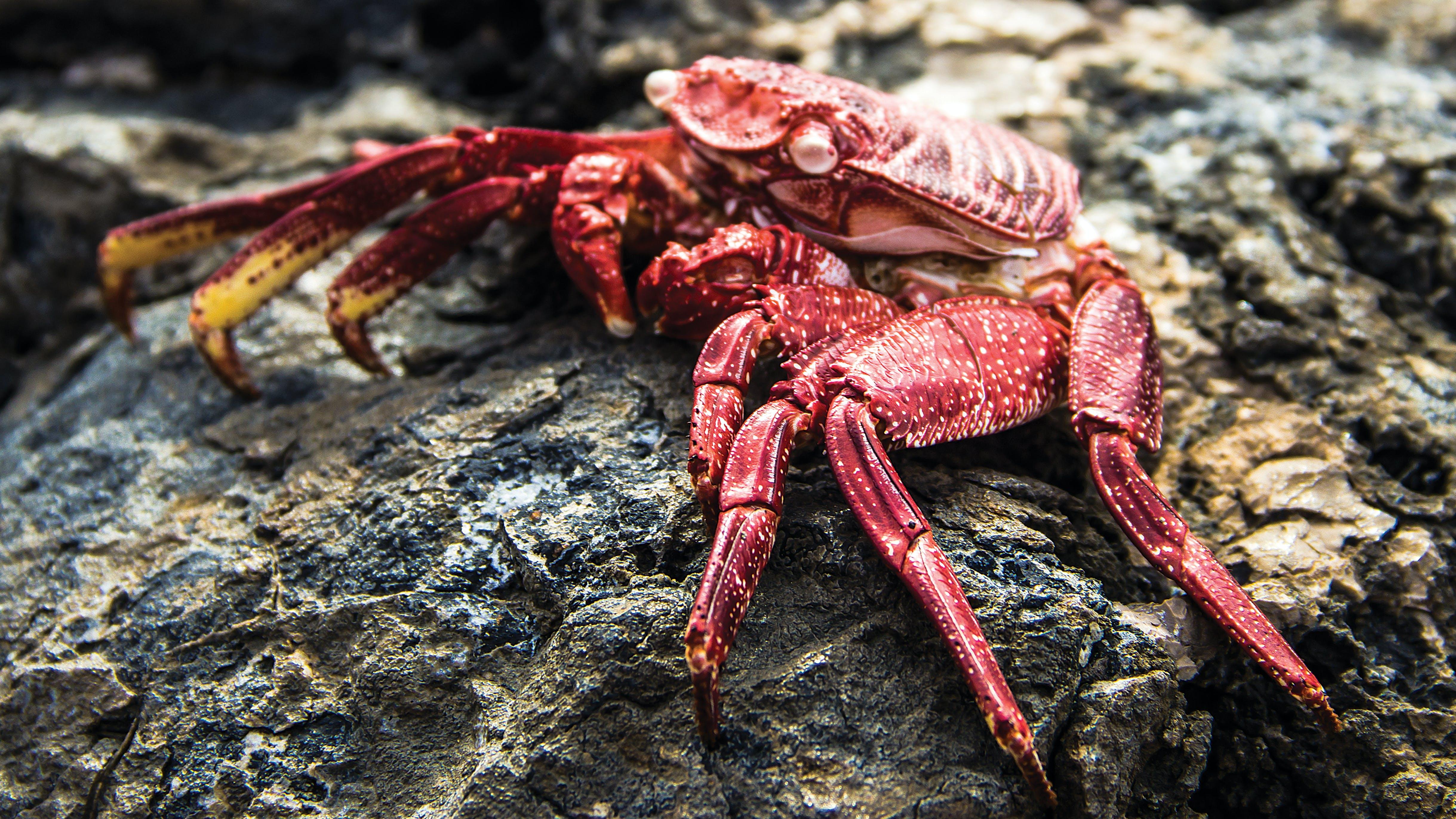 Free stock photo of crab