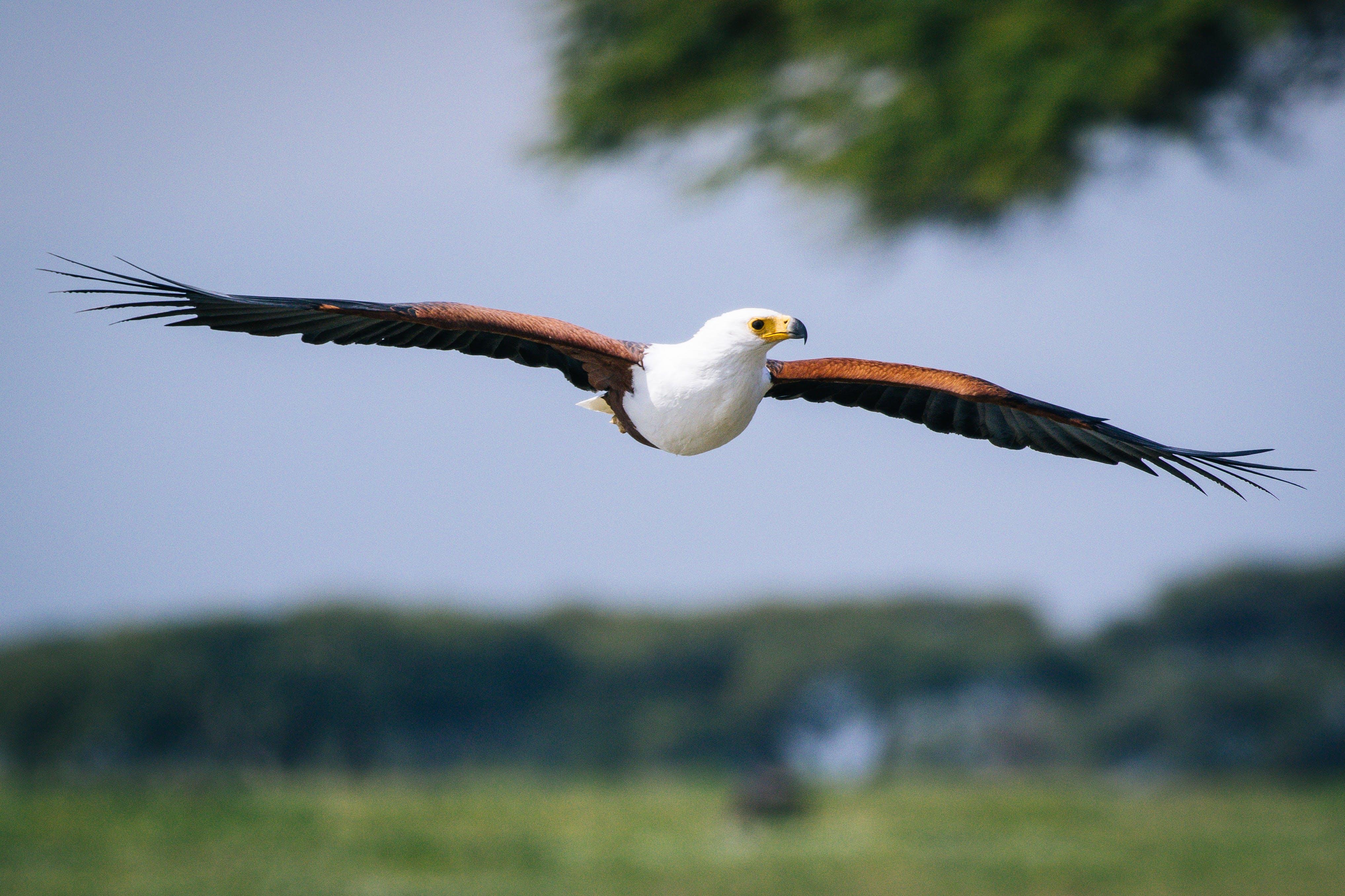 Free stock photo of #bird, #eagle, #flight
