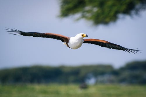 Free stock photo of #bird, #eagle, #flight