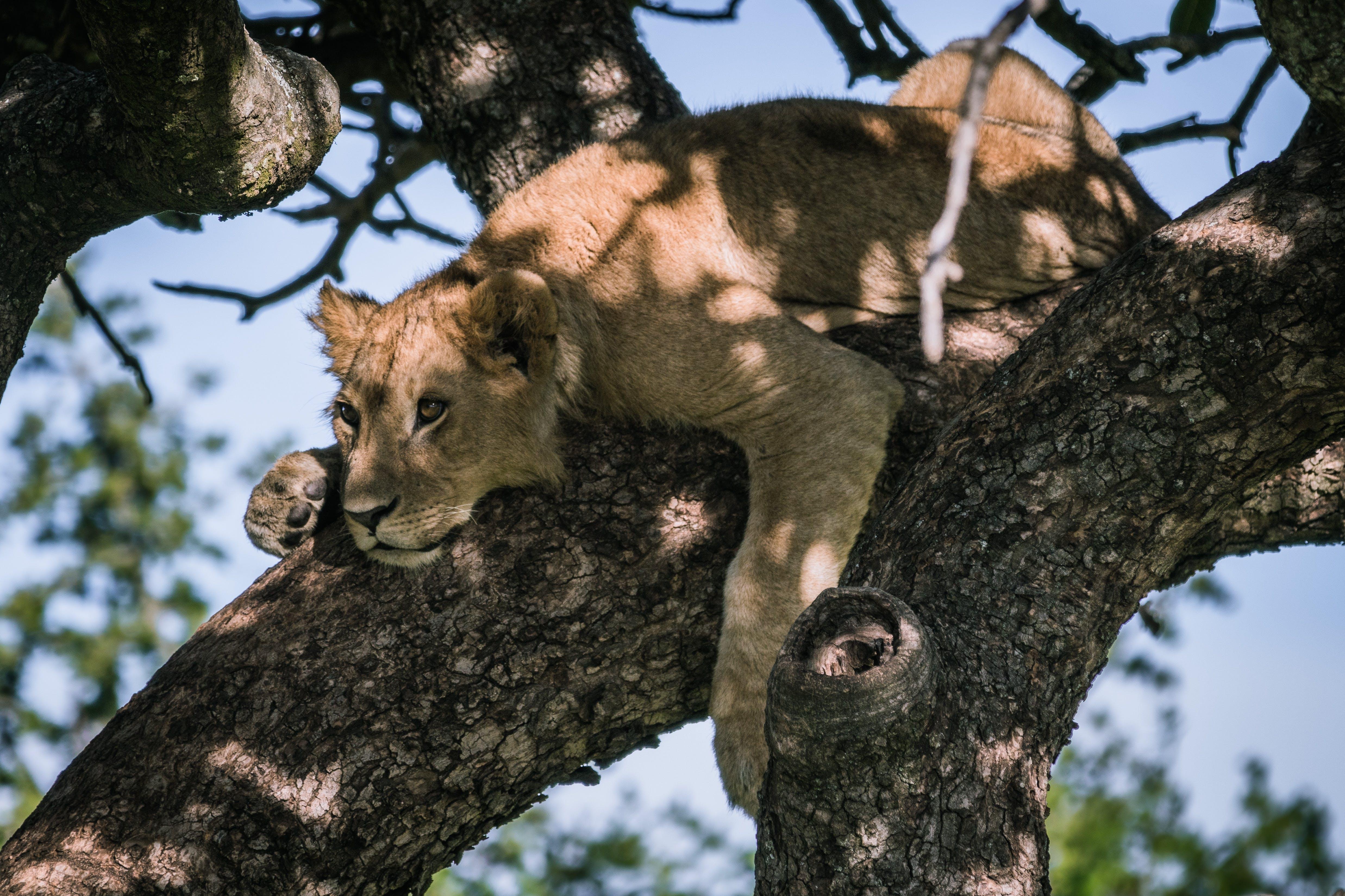 Free stock photo of #kenya, #lion, #safari