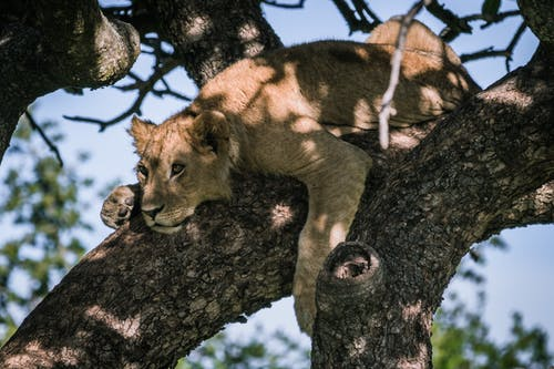 Free stock photo of #kenya, #lion, #safari
