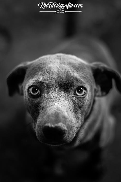 Ảnh lưu trữ miễn phí về chó, hình ảnh, đen và trắng