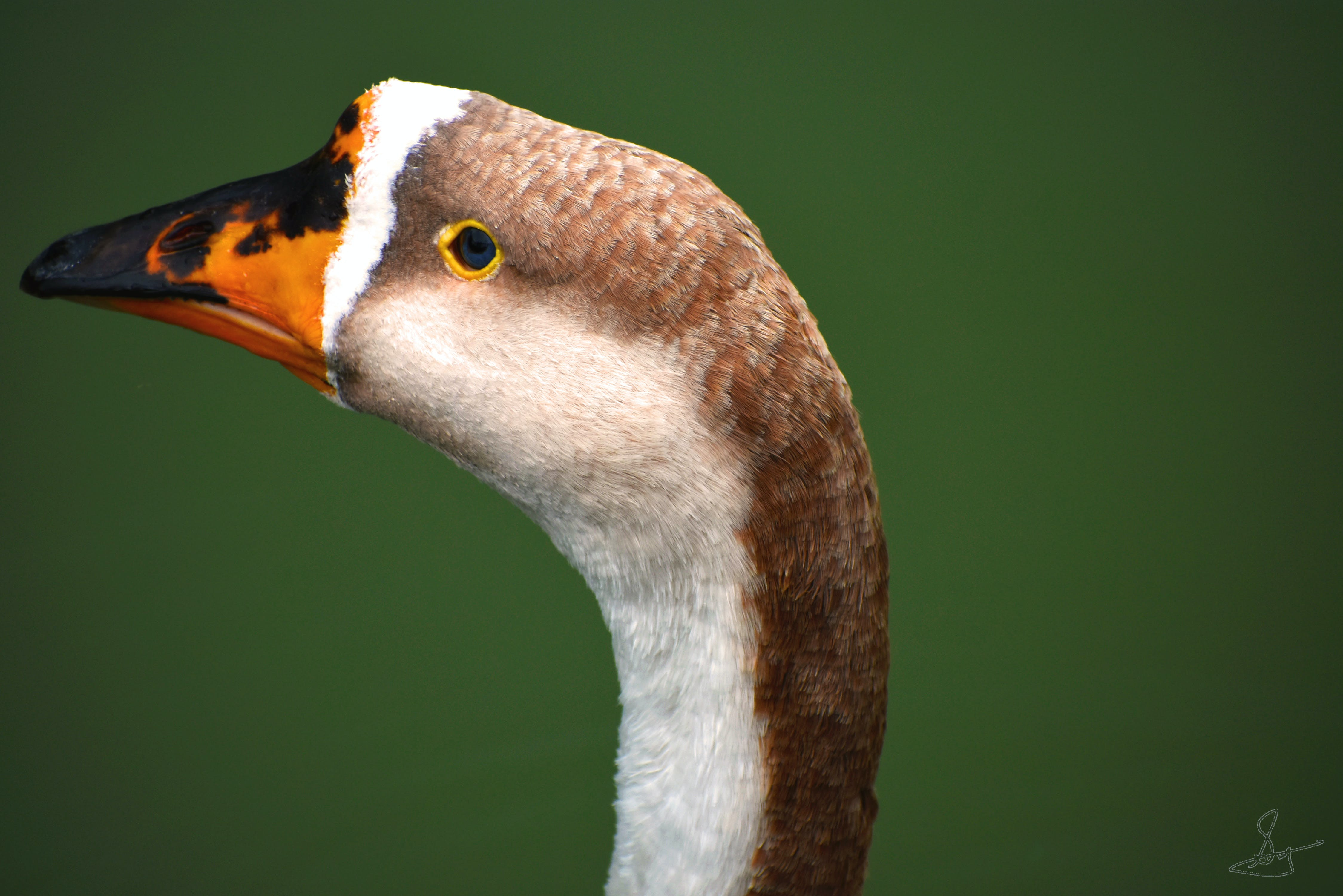 Free stock photo of duck bird, mother nature