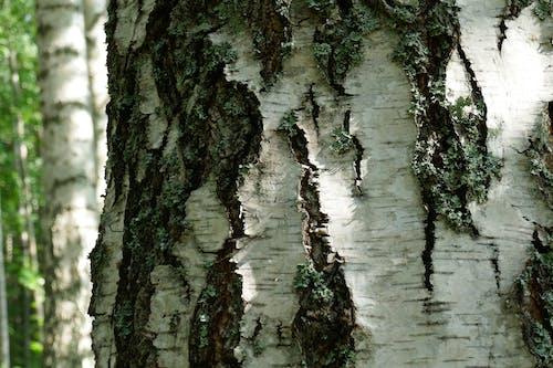 Kostnadsfri bild av bark, björkar