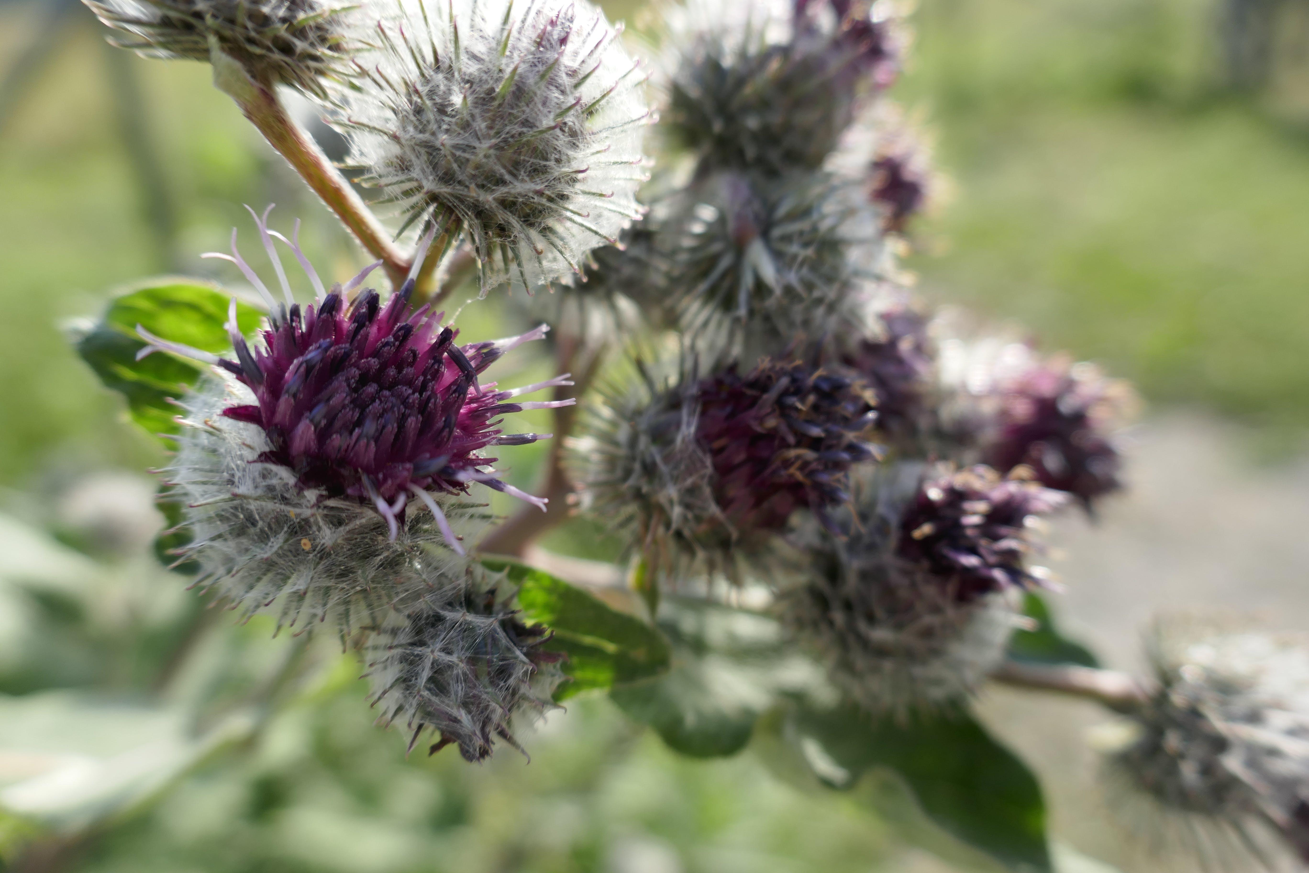 Imagine de stoc gratuită din ciulin, floare
