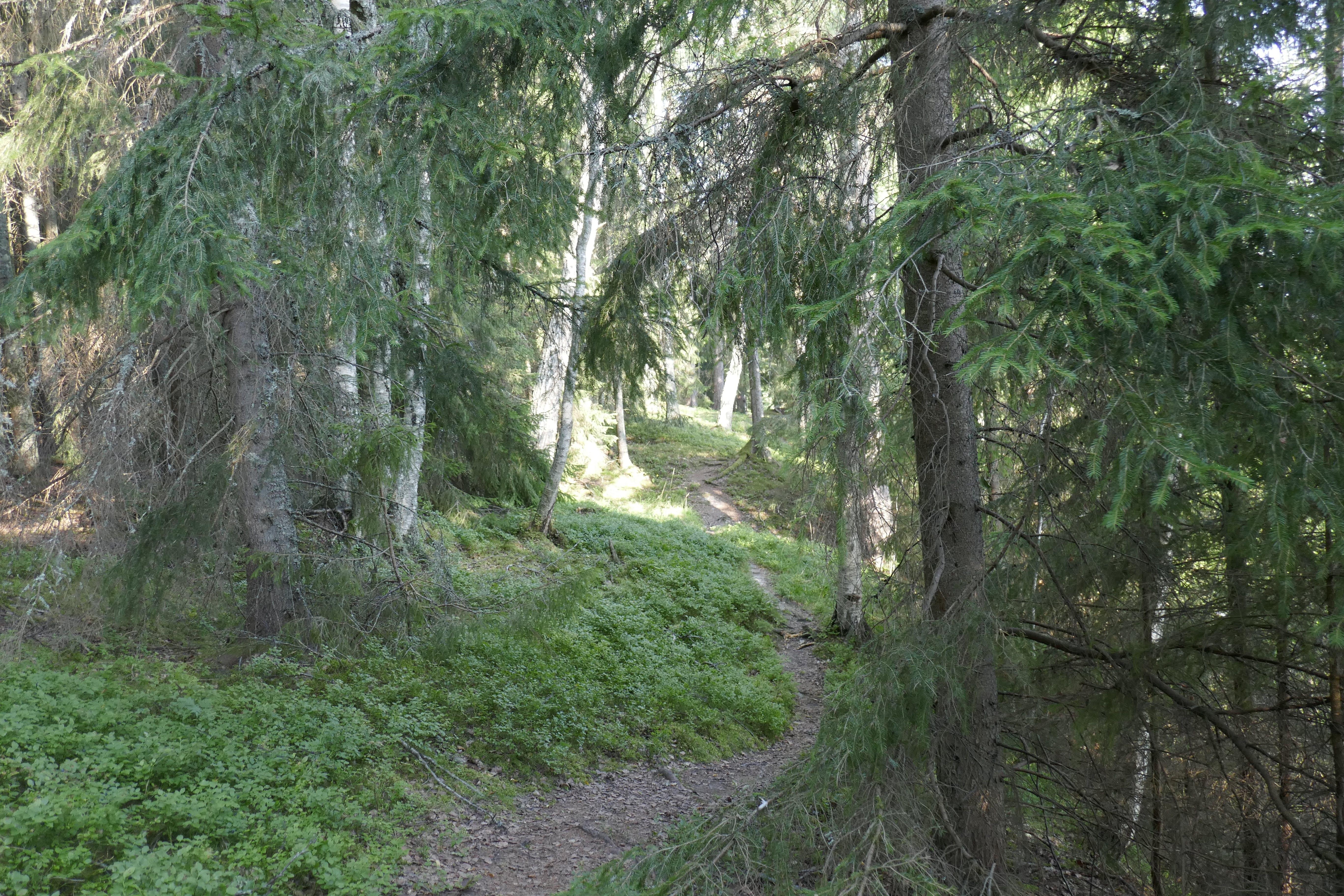 Imagine de stoc gratuită din arbori veșnic verzi, codru, potecă