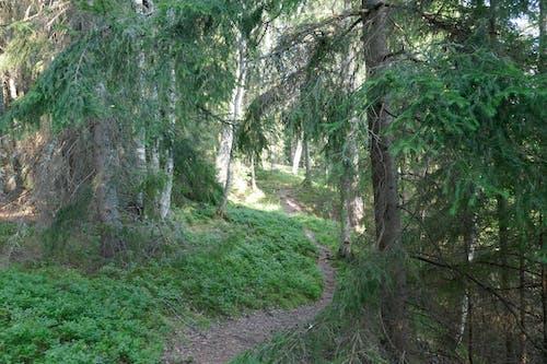 Kostnadsfri bild av skog, spår, vintergrön