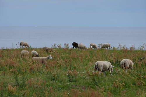 Free stock photo of grazing, sailboat, sheep