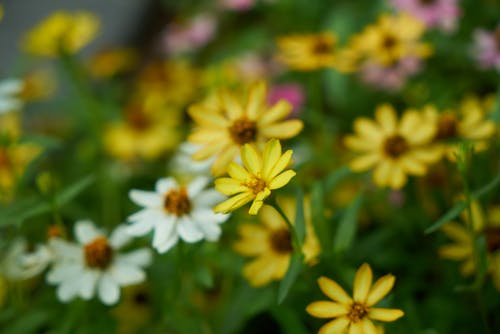 Free stock photo of background, closeup, daisy, detail