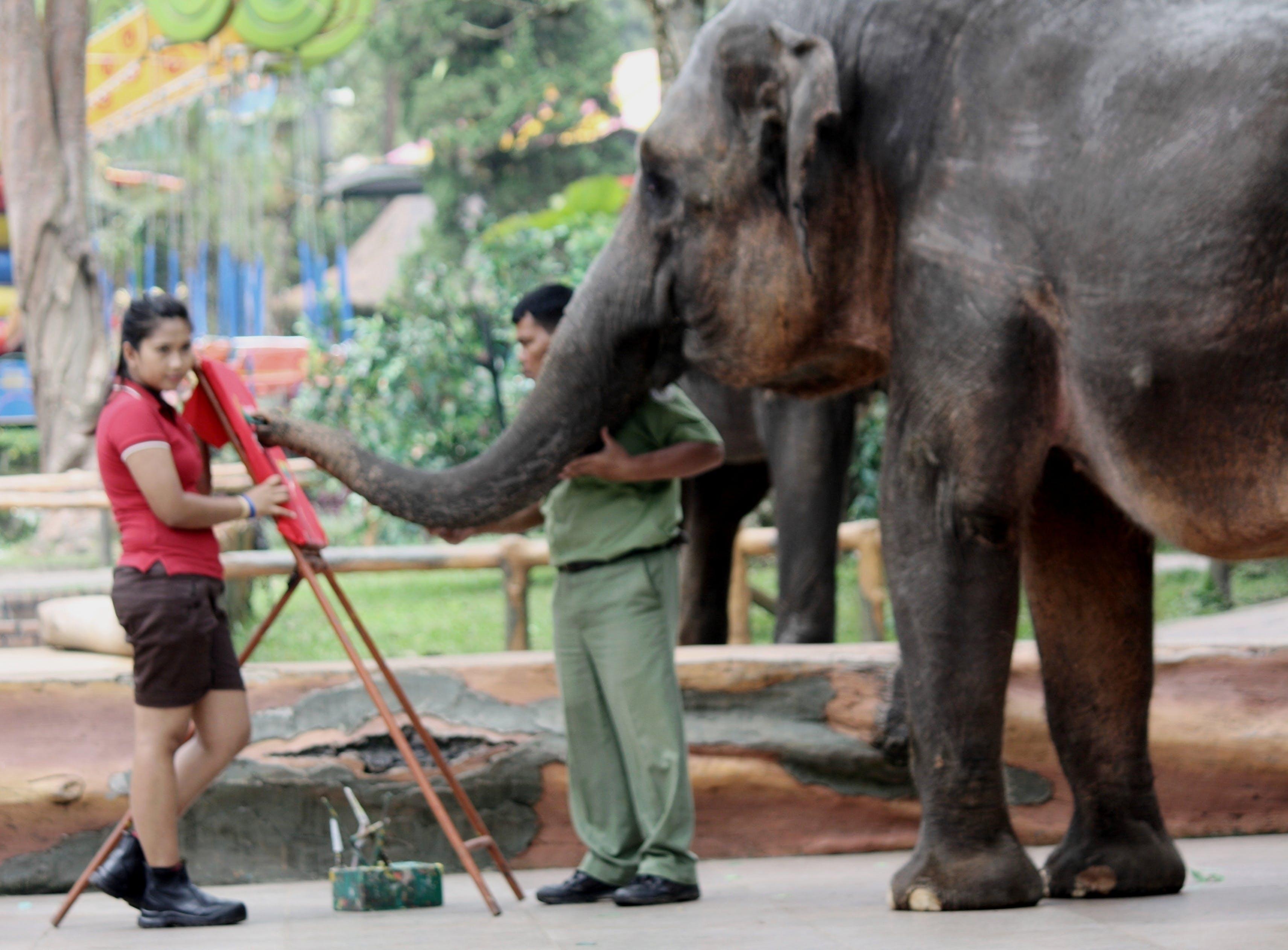 Foto d'estoc gratuïta de elefant, instructor