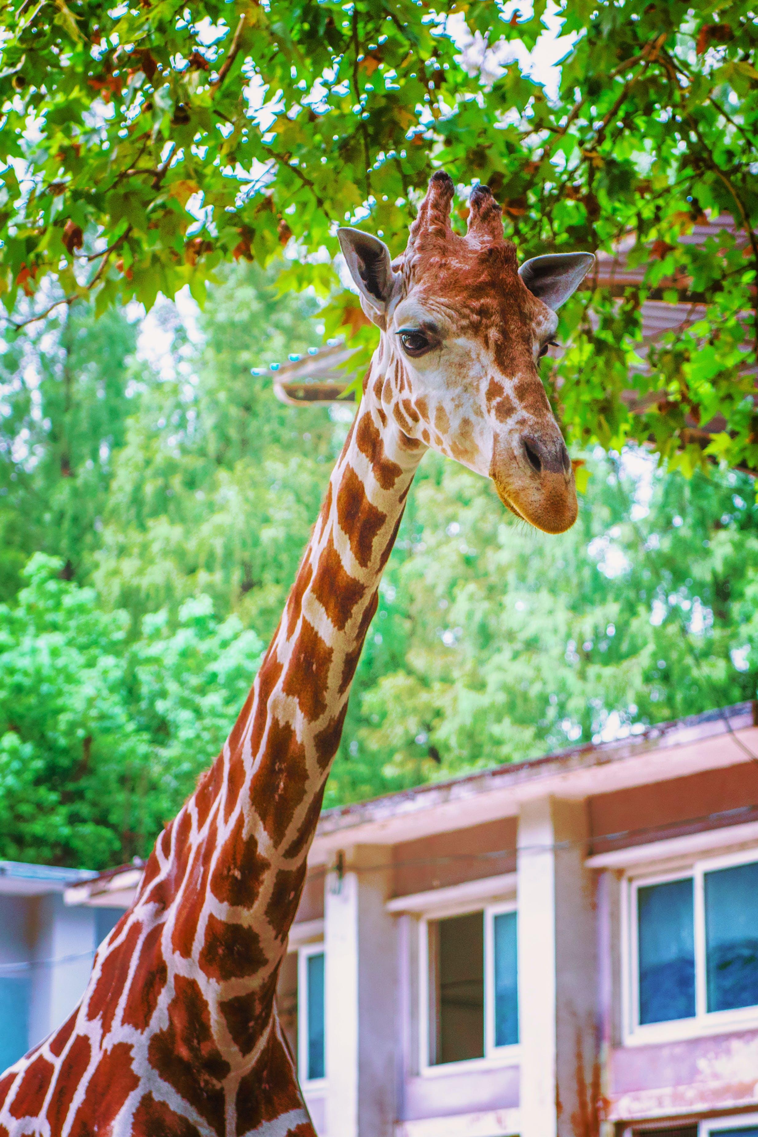 Free stock photo of animal, giraffe, zoo