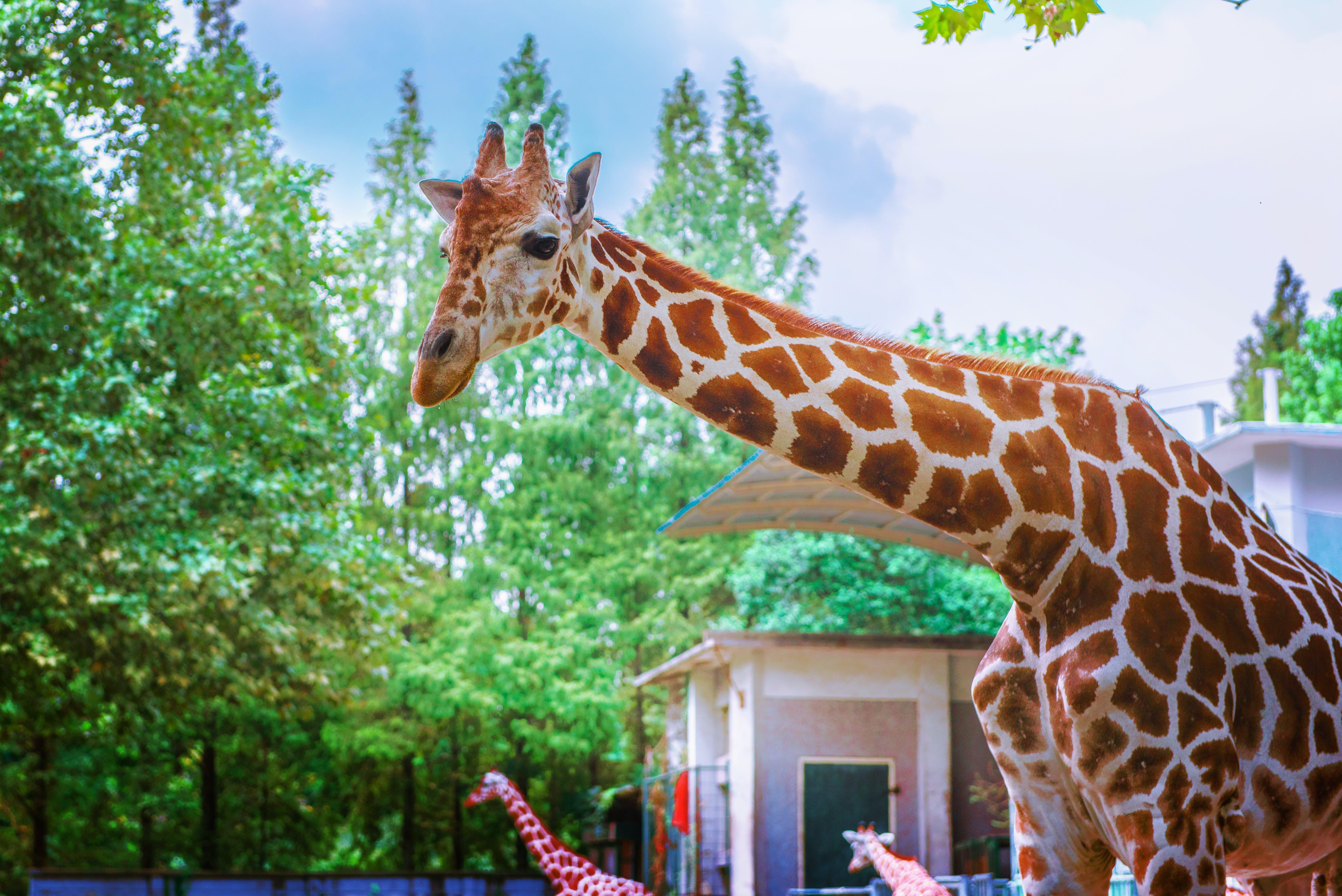 Giraffe Standing Under Trees