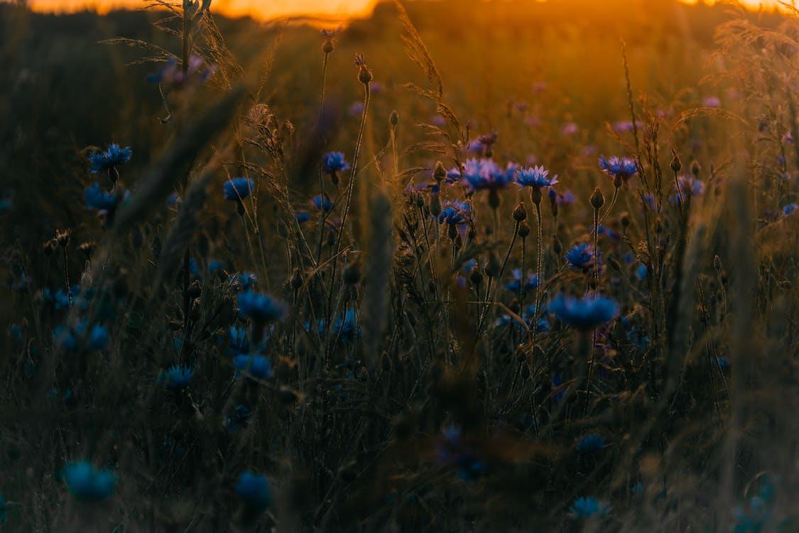 auringonlasku, kasvit, kukannuput