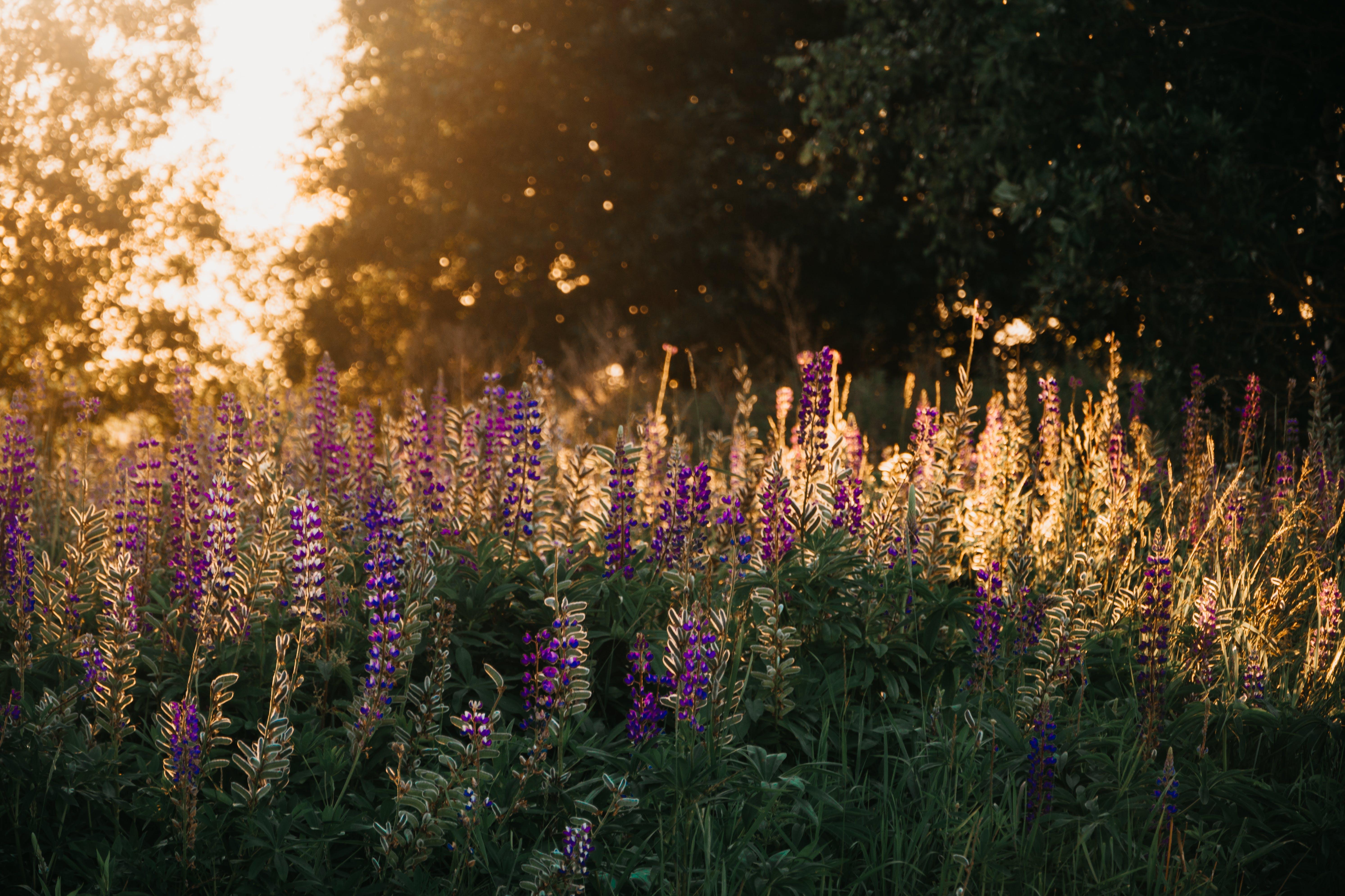 Purple Lupine Flowers